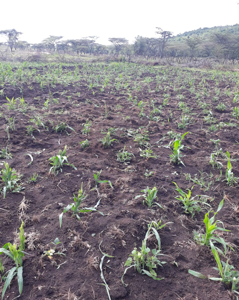 Maize crop destroyed by elephants at early stage