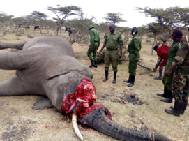Carcass of a dead elephant surrounded by rangers