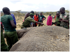 Rangers searching wounds on the dead elephant