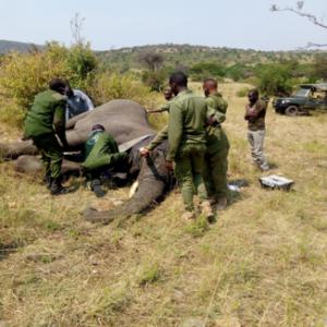 MEP and Olderkesi rangers putting a collar to an elephant