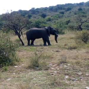 Elephant after being collared
